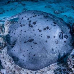 ©-Sylvie-Ayer-Maldives-marbled-stingray-Taeniura-meyeni