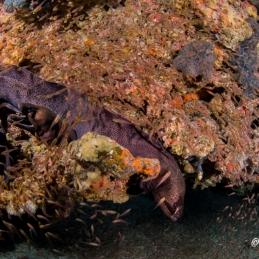 ©-Sylvie-Ayer-Maldives-murènes-javanaises-Gymnothorax javanicus