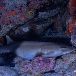 ©-Sylvie-Ayer-Maldives-nurse-shark-fauve-Nebrius-ferrugineus