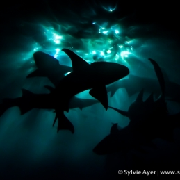©-Sylvie-Ayer-Maldives-nurse-shark