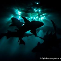 ©-Sylvie-Ayer-Maldives-nurse-shark