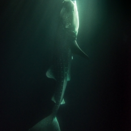©-Sylvie-Ayer-Maldives-whale-shark-night-2