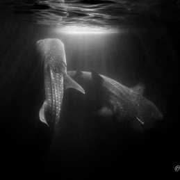 ©-Sylvie-Ayer-Maldives-whale-shark-night-3