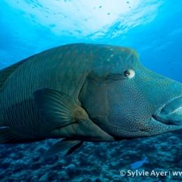 ©-Sylvie-Ayer-Micronesia-Palau-napoleon-fish