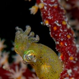 ©-Sylvie-Ayer-Micronesia-Palau-pygmy-squid