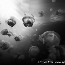 ©-Sylvie-Ayer-Micronesia-jellyfish-lake