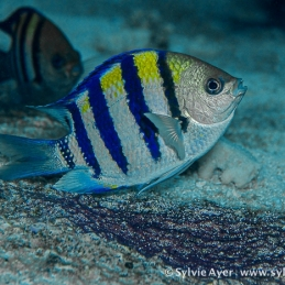 ©-Sylvie-Ayer-Micronesia-sergent-major-fish