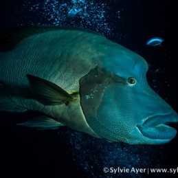 ©-Sylvie-Ayer-Micronesia-napoleon-fish