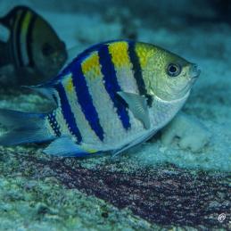 @SylvieAyer_MicronesiaPalau_Fish