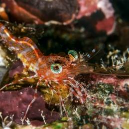 @SylvieAyer_MicronesiaPalau_Shrimp