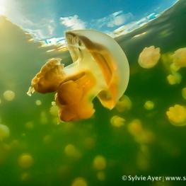 ©-Sylvie-Ayer-Micronesia-Palau-Jellyfish-lake