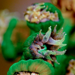 ©-Sylvie-Ayer-Micronesia-Palau-soft-coral