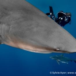 ©-Sylvie-Ayer-Mozambique-Bull-shark-26