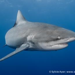 ©-Sylvie-Ayer-Mozambique-Bull-shark-30
