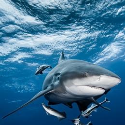 ©-Sylvie-Ayer-Mozambique-bull-shark-10