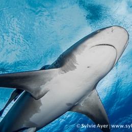 ©-Sylvie-Ayer-Mozambique-bull-shark-12