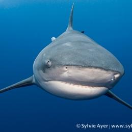 ©-Sylvie-Ayer-Mozambique-bull-shark-13