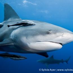 ©-Sylvie-Ayer-Mozambique-bull-shark-14