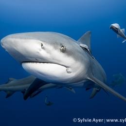 ©-Sylvie-Ayer-Mozambique-bull-shark-15