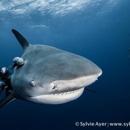 ©-Sylvie-Ayer-Mozambique-bull-shark-16