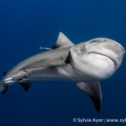 ©-Sylvie-Ayer-Mozambique-bull-shark-2