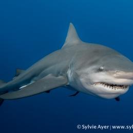 ©-Sylvie-Ayer-Mozambique-bull-shark-3