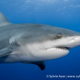 ©-Sylvie-Ayer-Mozambique-bull-shark-4