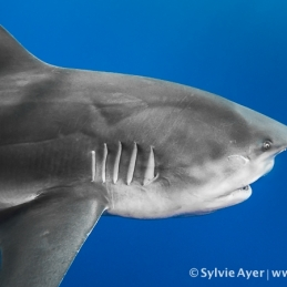 ©-Sylvie-Ayer-Mozambique-bull-shark-5