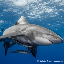 ©-Sylvie-Ayer-Mozambique-bull-shark-6