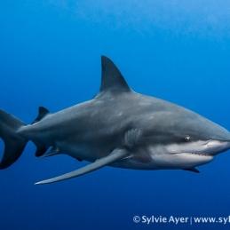 ©-Sylvie-Ayer-Mozambique-bull-shark-8