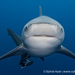 ©-Sylvie-Ayer-Mozambique-bull-shark-9