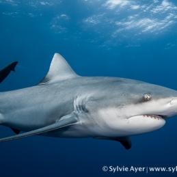©-Sylvie-Ayer-Mozambique-bull-shark