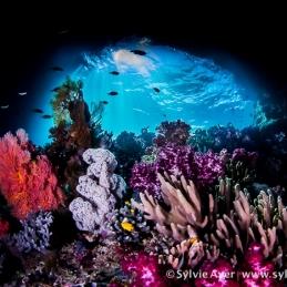 ©-Sylvie-Ayer-Indonesia-Raja-Ampat-corals