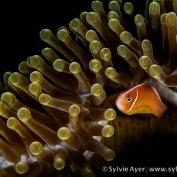 ©-Sylvie-Ayer-indonéesie-raja-ampat-pink-anemone-fish