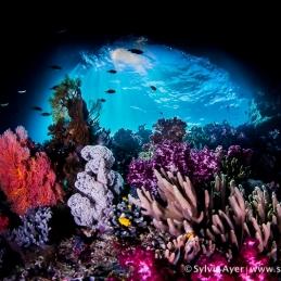 ©-Sylvie-Ayer-Indonesia-Komodo-corals