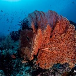 ©-Sylvie-Ayer-Indonesia-Raja-Ampat-Corals-ambiance-3