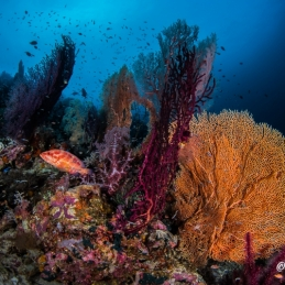©-Sylvie-Ayer-Indonesia-Raja-Ampat-Corals-ambiance