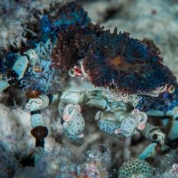 ©-Sylvie-Ayer-Indonesia-Raja-Ampat-Corrallimorph-Decorator-Crab
