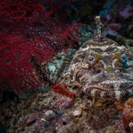 ©-Sylvie-Ayer-Indonesia-Raja-Ampat-Crocodile flathead-Cymbacephalus-beauforti