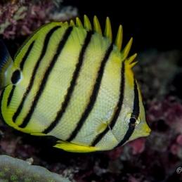 ©-Sylvie-Ayer-Indonesia-Raja-Ampat-Eight-banded-butterflyfish-chaetodon-octofasciatus