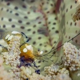 ©-Sylvie-Ayer-Indonesia-Raja-Ampat-Peacock-tail anemone shrimp- Periclimenes brevicarpalis