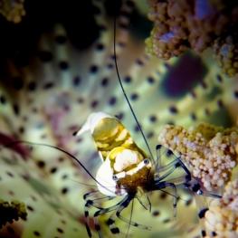 ©-Sylvie-Ayer-Indonesia-Raja-Ampat-Peacock-tail-anemone-shrimp-Periclimenes-brevicarpalis