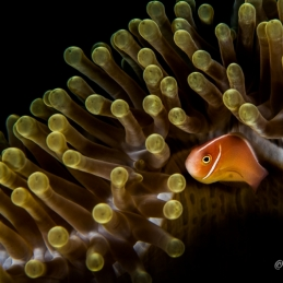 ©-Sylvie-Ayer-Indonesia-Raja-Ampat-Pink-anemonefish-Amphiprion-perideraion