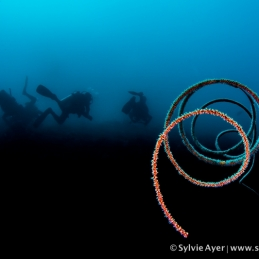 ©-Sylvie-Ayer-Indonesia-Raja-Ampat-Sea-whip-coral-junceela