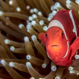 ©-Sylvie-Ayer-Indonesia-Raja-Ampat-Spinecheek-anemonefish-premnas-biaculeatus