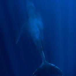 ©-Sylvie-Ayer-Mexico-Revilligigedo-humpack-whale