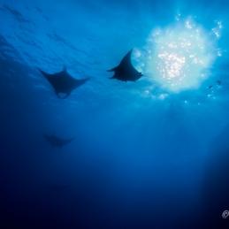 ©-Sylvie-Ayer-Mexico-Revilligigedos-Islands-Socorro-Oceanic-Manta