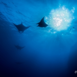 ©-Sylvie-Ayer-Mexico-Revilligigedos-Islands-Socorro-Oceanic-Manta