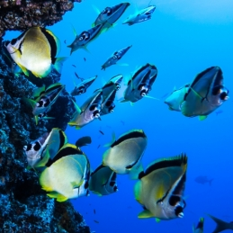 ©-Sylvie-Ayer-Mexico-Revilligigedos-ambiance-fishes