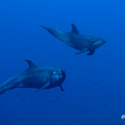 ©-Sylvie-Ayer-Mexico-Revilligigedos-dolphins